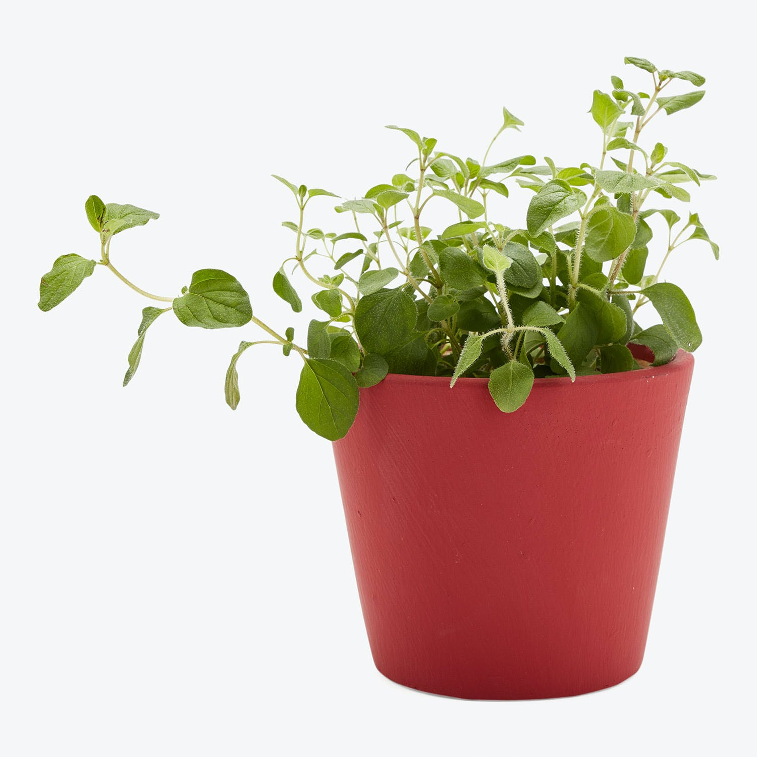 Product Image - Garden Pot Poppy