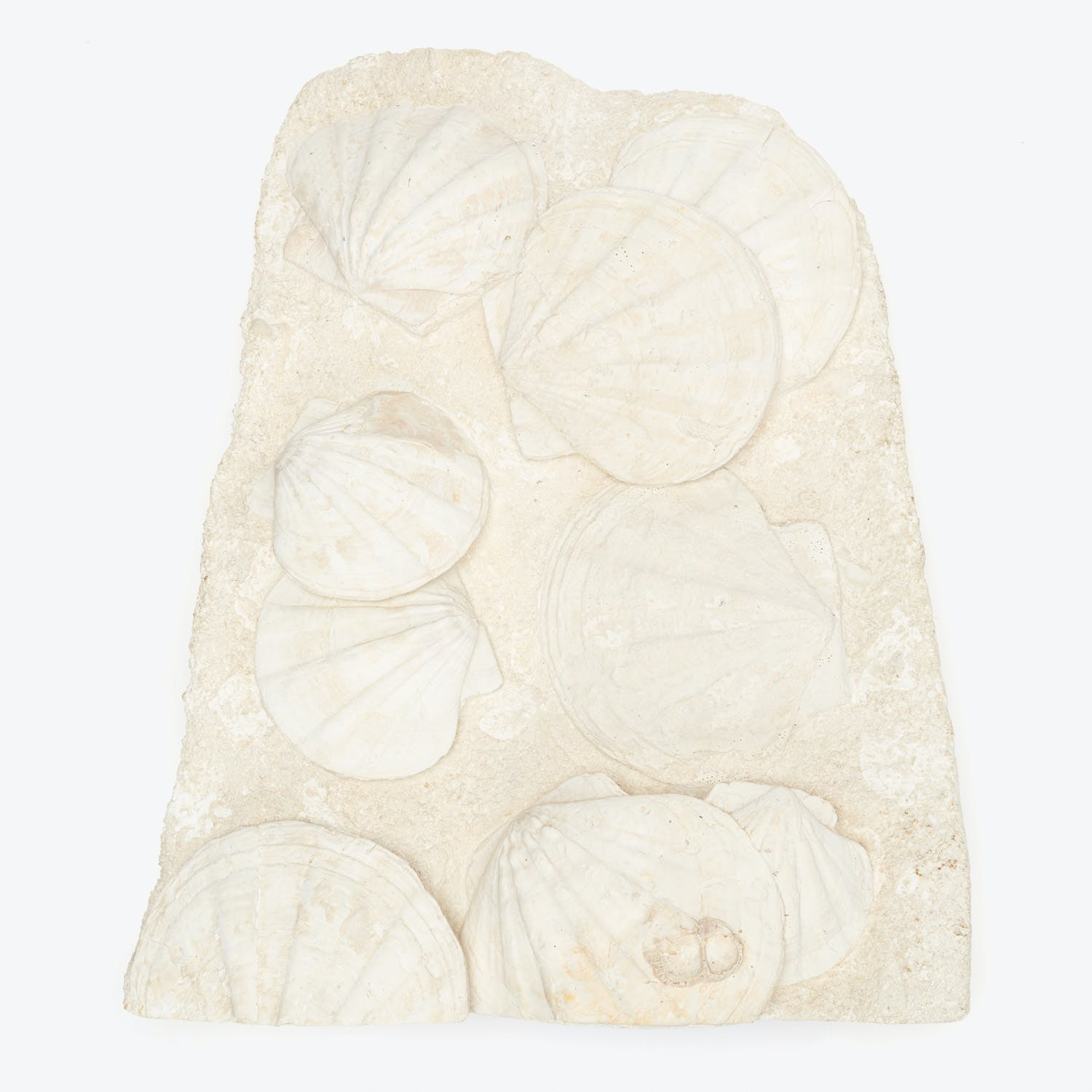 Product Image - Clam Shell Fossil Large